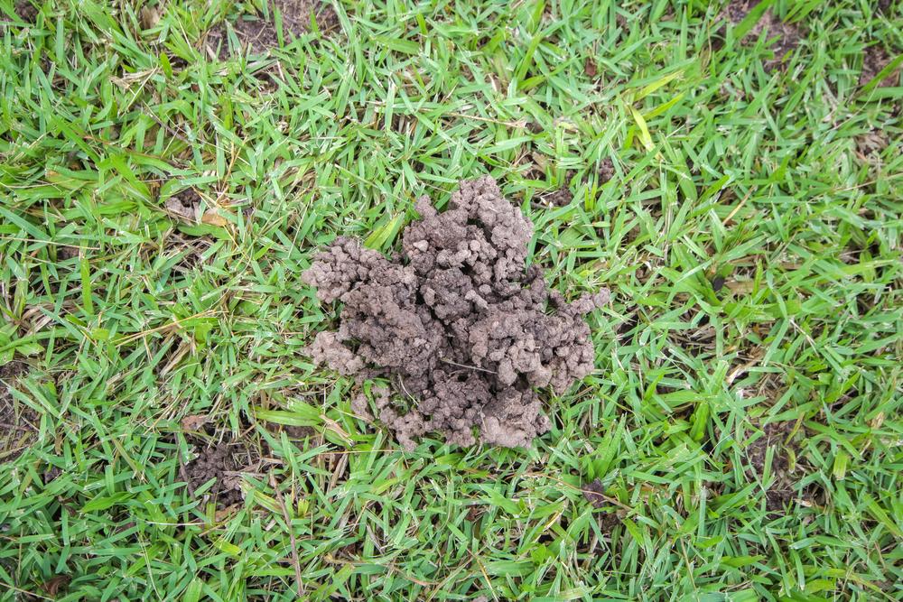 Kôpky po dážďovkách v trávniku